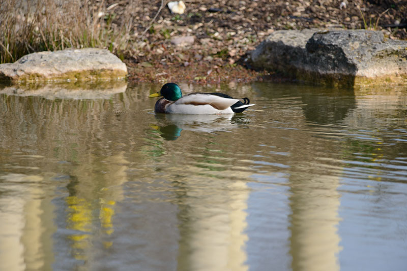 Resident Duck